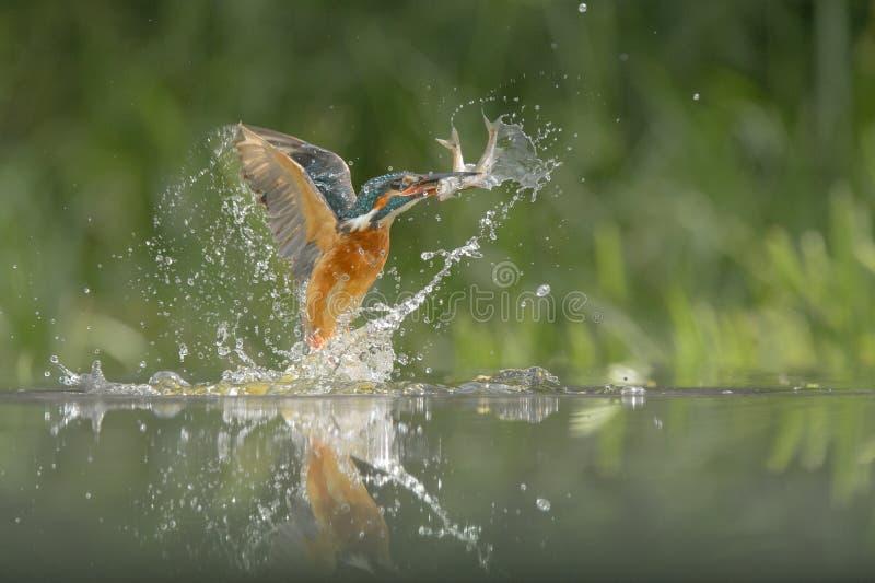Ijsvogel met vangst royalty-vrije stock foto's