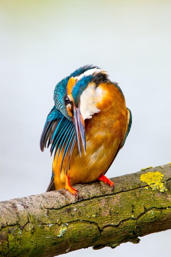 IJsvogel, Pospolity zimorodek, Alcedo Atthis obraz stock