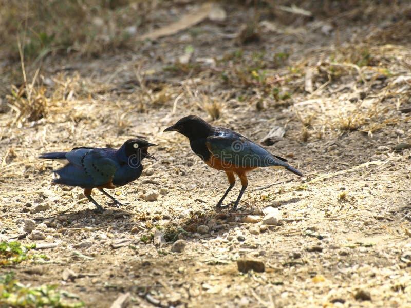 Ijsvogels die in het Park van het Oosten schreeuwen Tsavo royalty-vrije stock fotografie