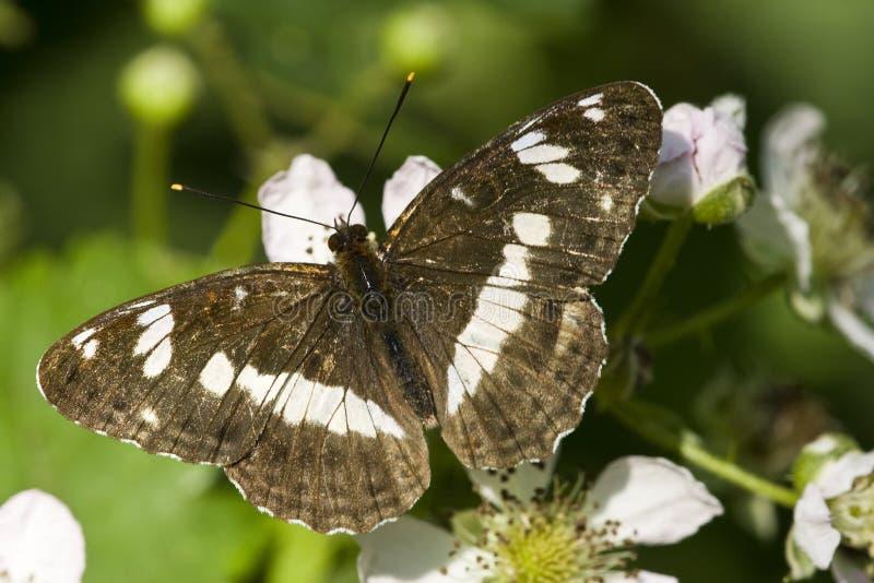 Ijsvogelvlinder de Kleine, amiral blanc, Limenitis Camilla photo libre de droits