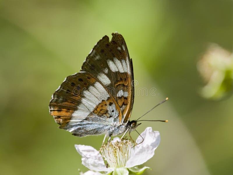Ijsvogelvlinder de Kleine, amiral blanc, Limenitis Camilla photo stock