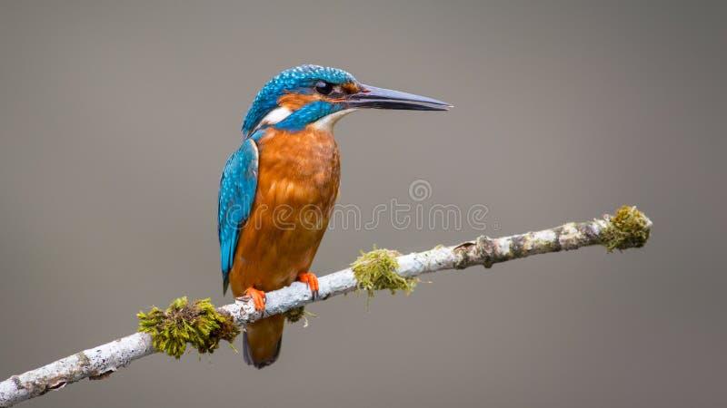 Ijsvogelvogel stock foto's