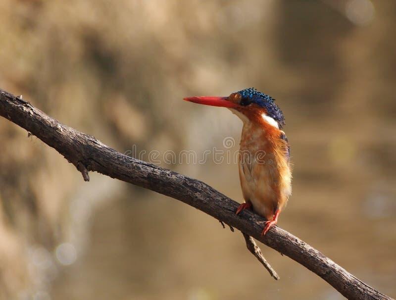 Ijsvogelvogel royalty-vrije stock afbeelding