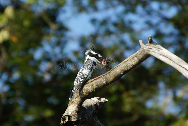 Ijsvogelvogel met zijn vissen royalty-vrije stock afbeelding