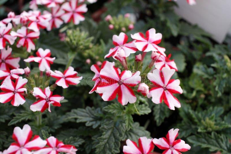 Ijzerkruidbloemen in het rode en witte Ijzerkruid Hybrida van de kleurentuin verbenas Bloemen patroon De lente en de zomer het ij stock foto's