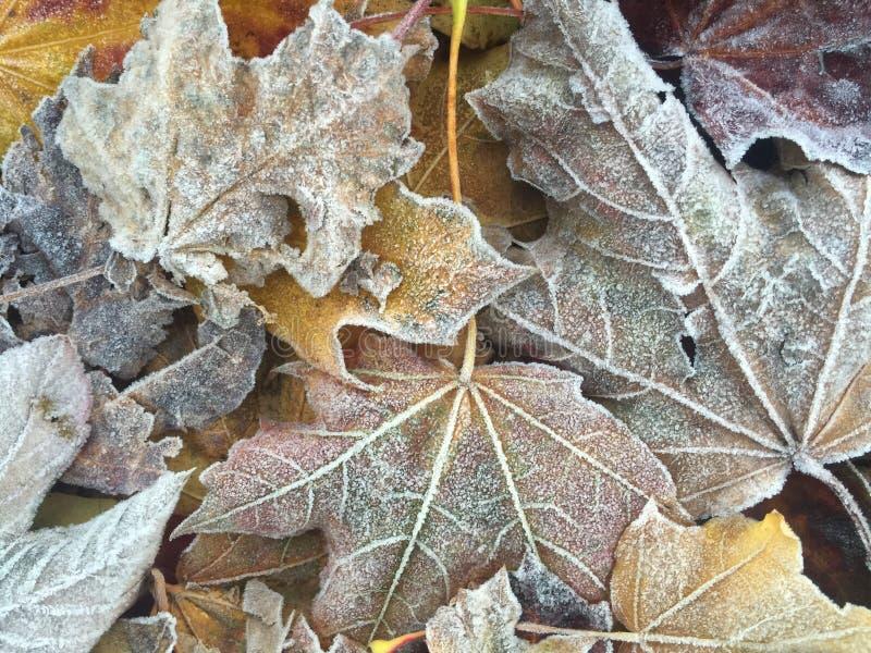 Ijzige de herfstbladeren stock afbeeldingen