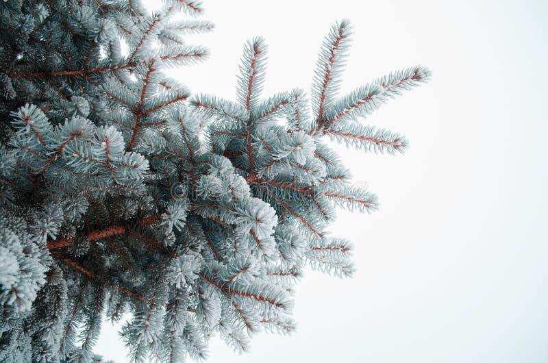 Ijzige die naalden met sneeuw worden behandeld stock foto's