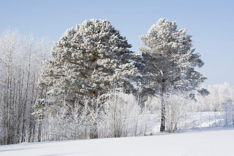 Ijzige en Zonnige de winterdag in het bos royalty-vrije stock foto