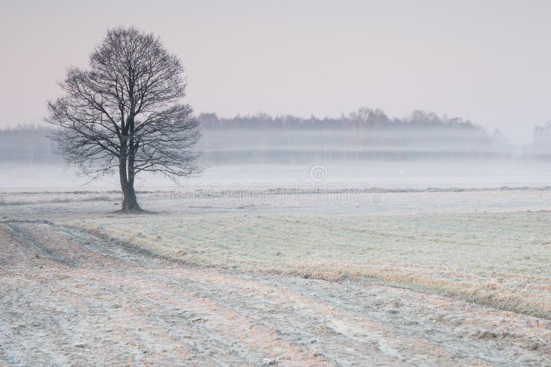 Ijzige vroege ochtend over een nevelige weide met eenzame boom stock foto's