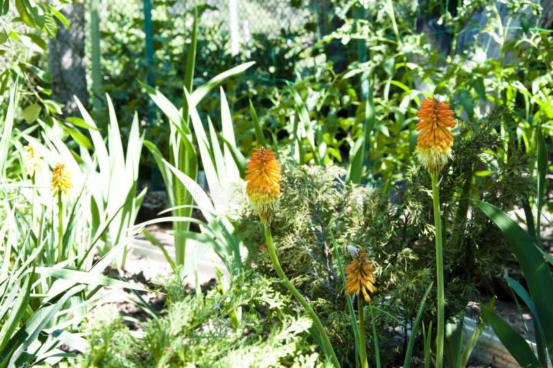 ik houd van met bloemen te werken De lente Aard en milieu Kniphofiabloem villatic vakantieseizoen water gevende de zomertuin royalty-vrije stock fotografie