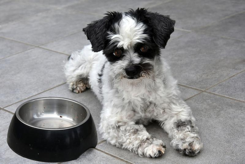 Ik wacht! Weinig hond en lege het voeden schotel stock foto