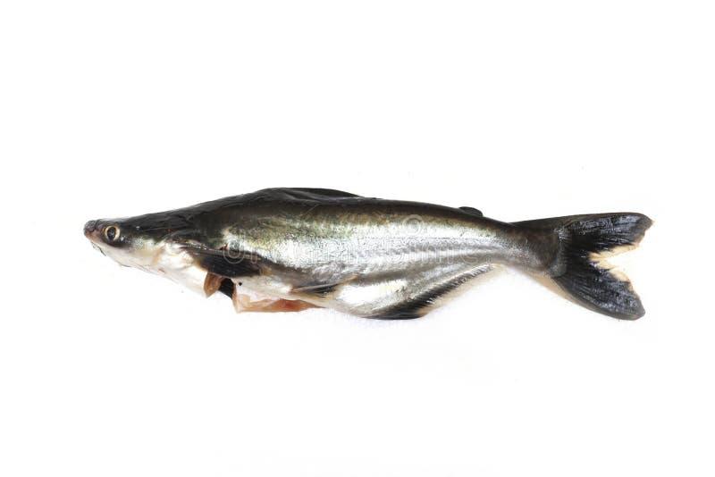 Ikan Patin o nome scientifico iridescente d'argento Pangasius Sutchi o del pesce gatto dello squalo del pesce o fotografia stock libera da diritti