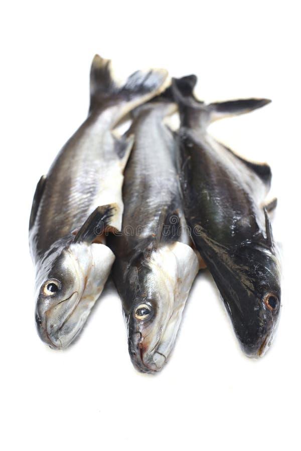 Ikan Patin oder silberner Wels- oder schillernderhaifischfisch- oder wissenschaftlichername Pangasius Sutchi stockbild