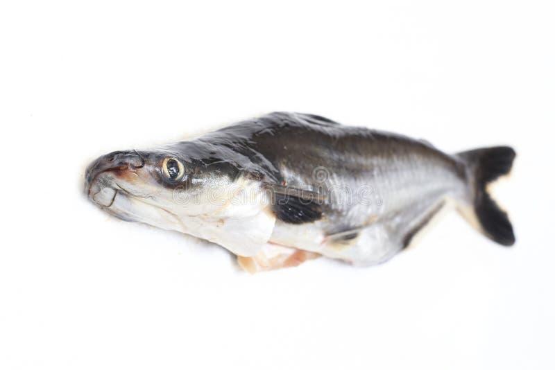 Ikan Patin ou nom de poisson-chat ou iridescent argenté Pangasius Sutchi de requin de poisson ou scientifique images libres de droits