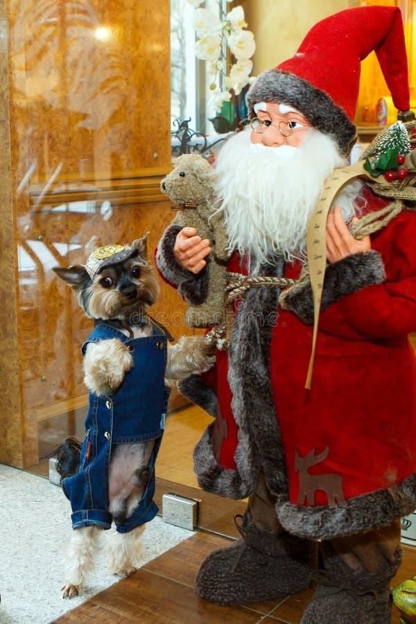 Iklädd rolig hund en grov bomullstvilldräkt och hatt som poserar med Santa Claus royaltyfri bild