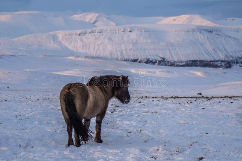 Ikonowi Islandzcy konie w śniegu, zima czas, Iceland zdjęcie stock