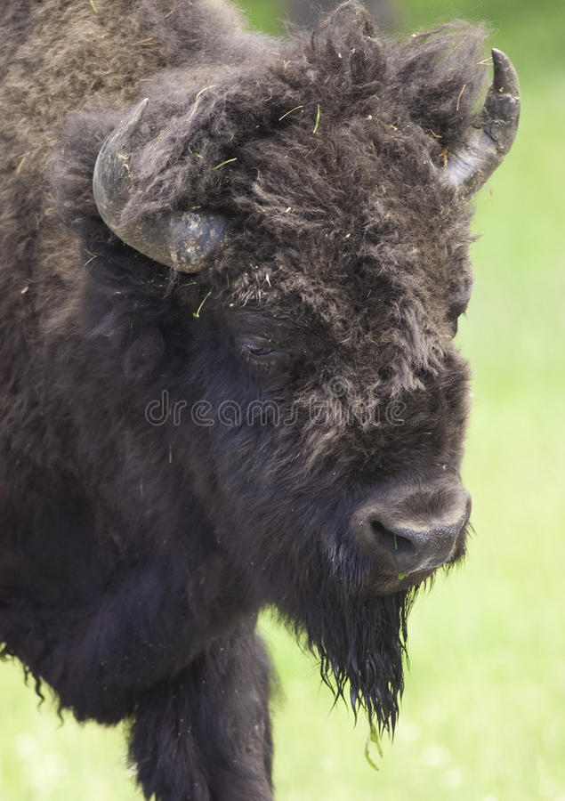 Ikonowy bizon fotografia stock