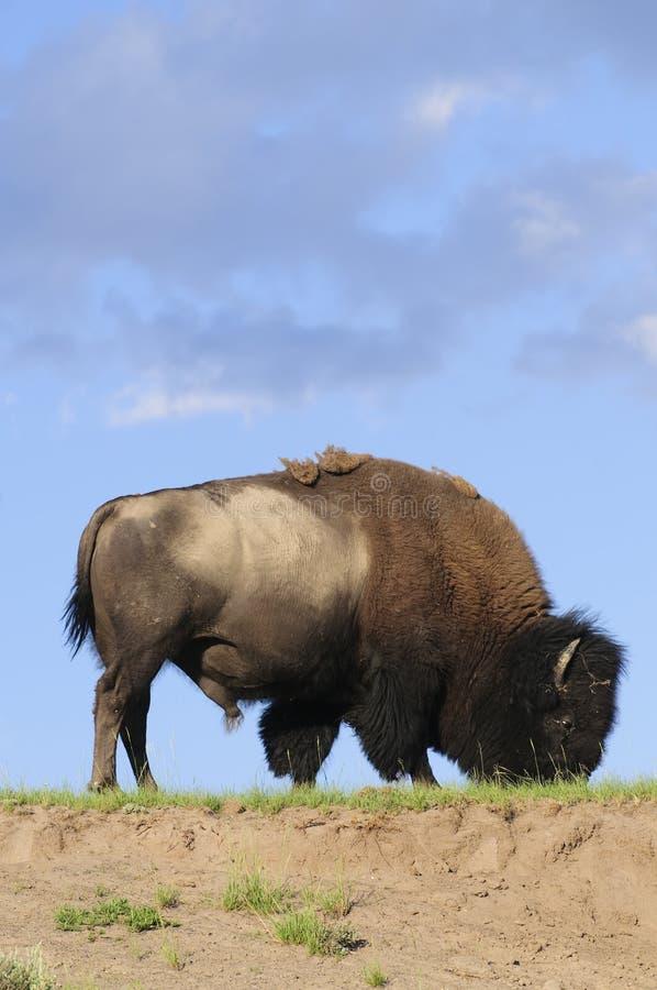 Ikonowy Północnoamerykański bizon zdjęcia royalty free