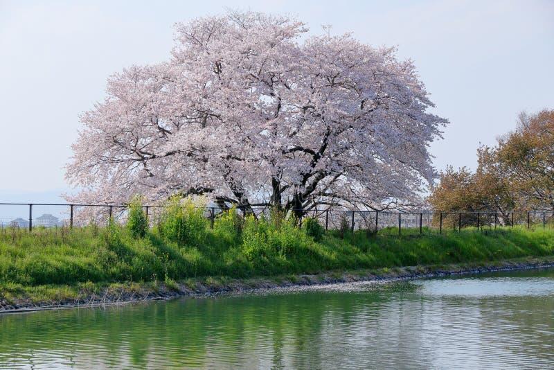 Ikusaka池塘的樱桃树 免版税库存照片