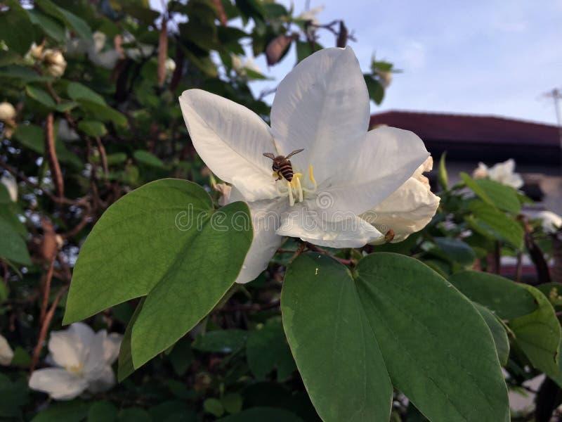 Il acuminata di Bauhinia del fiore dell'orchidea di Snowy e dell'ape è proprietà o fotografia stock libera da diritti