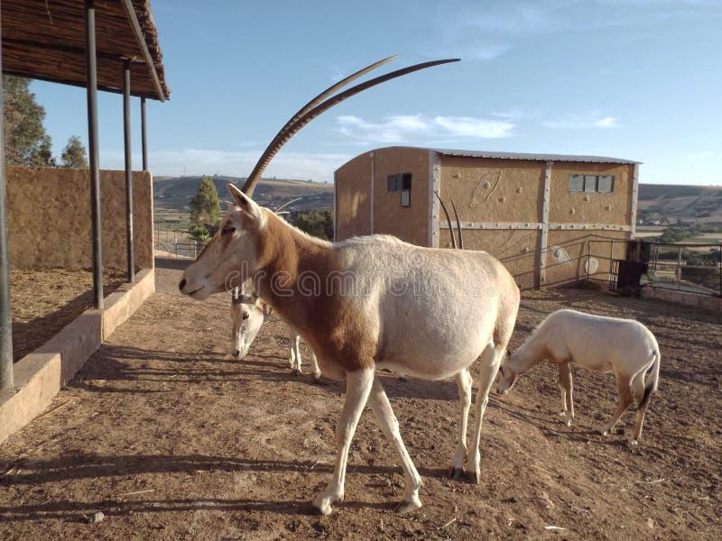 Il Addax in zoo immagini stock libere da diritti