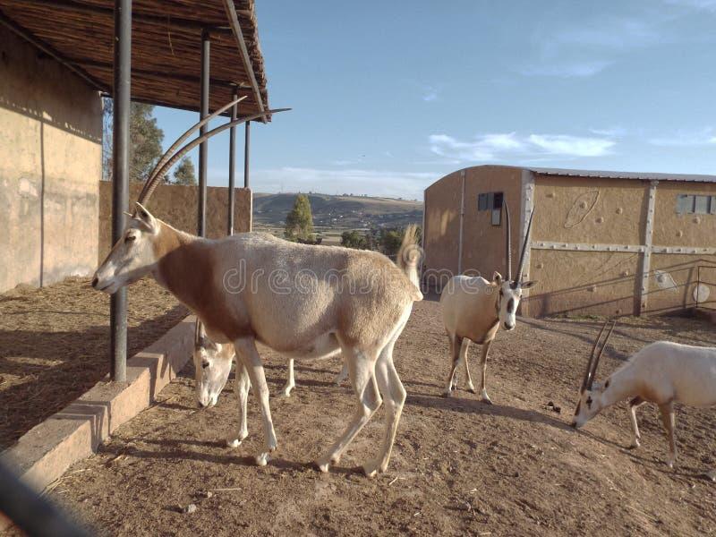 Il Addax in zoo fotografie stock libere da diritti