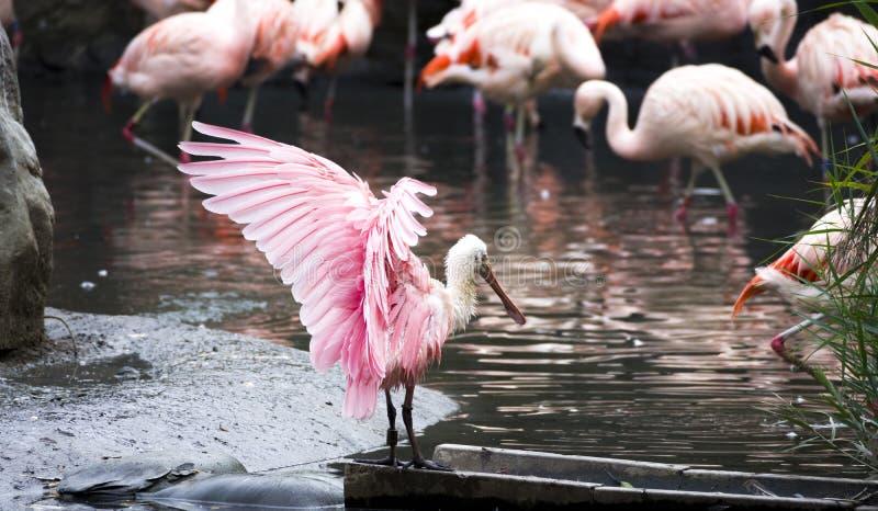 Il ajaja del Platalea di spatola rosea ha aperto le ali rosa fotografie stock