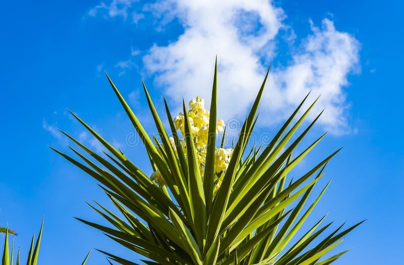 Il aloifolia latino dell'yucca di nome dell'albero della baionetta spagnola fiorisce fotografie stock libere da diritti