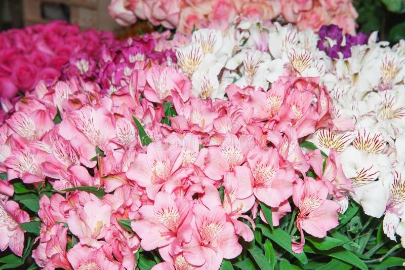 Il Alstroemeria è rosa-rosso e chiazzato multicolori Priorità bassa dei fiori fotografia stock libera da diritti