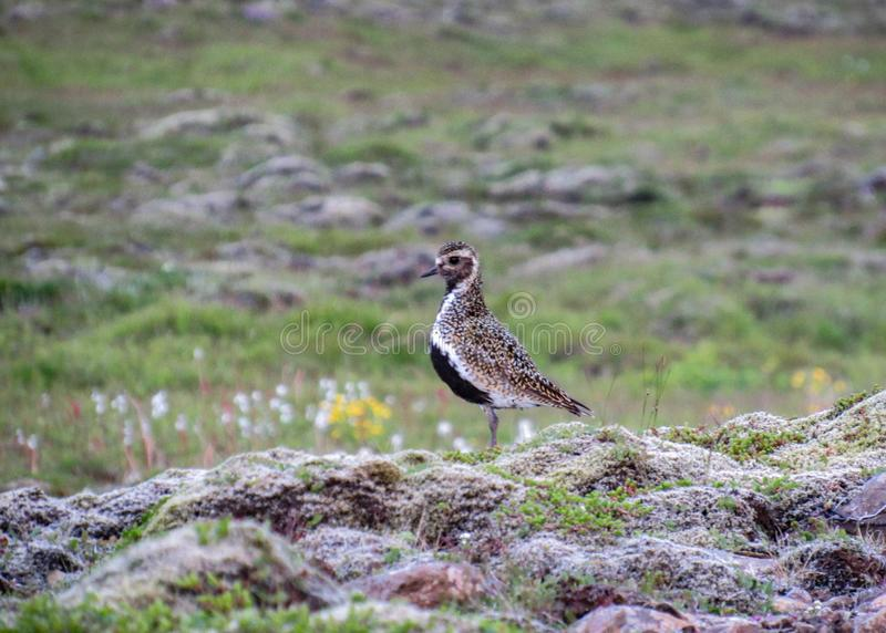 Il apricaria europeo del Pluvialis del piviere dorato nel landcape islandese, penisola di Reykjanes dell'Islanda, Europa fotografie stock libere da diritti