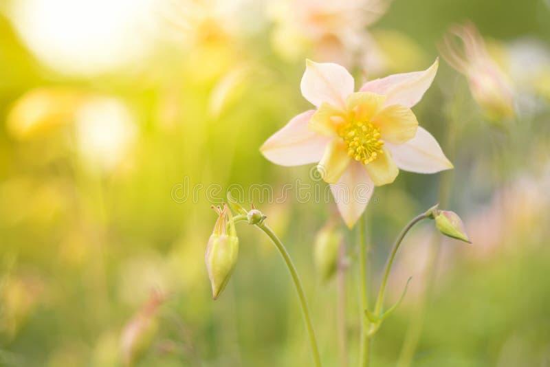 Il aquilegia rosa di colore nel giardino, balza fondo soleggiato Posto per il vostro testo fotografie stock libere da diritti