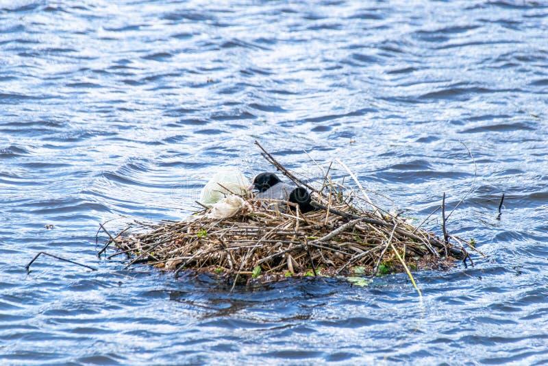 Il atra del Fulica delle folaghe ha usato i sacchetti di plastica ed il politene per sostenere la costruzione del nido fotografia stock libera da diritti