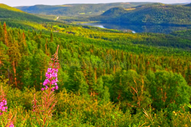 Il augustifolium di fioritura di Chamaenerion dell'epilobio trascura, Terranova occidentale, Canada immagini stock libere da diritti