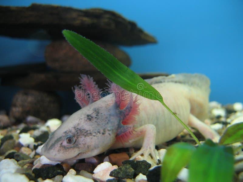 Il axolotl messicano fotografia stock