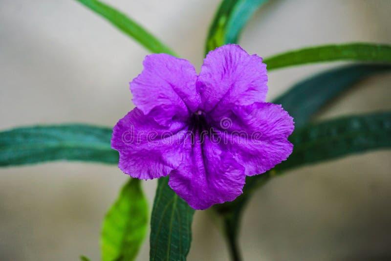 Il baccello schioccante fiorisce la fioritura porpora di mattina, fuoco selettivo con profondità di campo bassa fotografia stock
