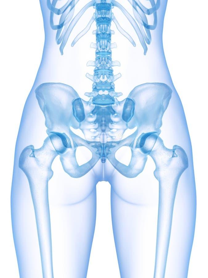 Il bacino scheletrico illustrazione vettoriale