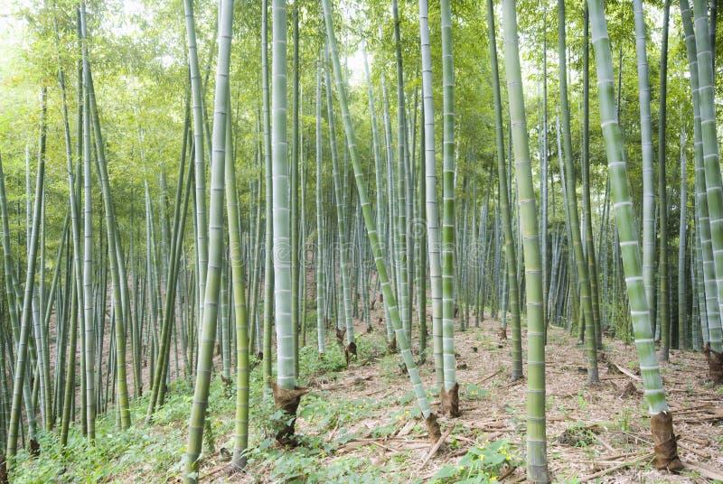 Il bambù di una foresta all'aperto fotografia stock