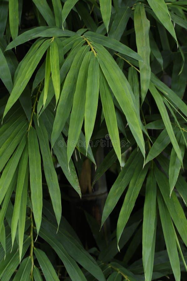 Il bambù lascia il fondo di struttura della parete immagini stock