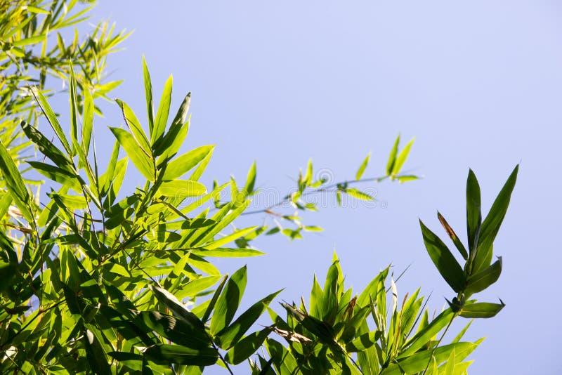Il bambù lascia la foto immagine stock