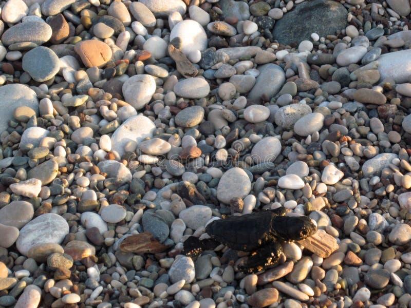 Il bambino neonato della tartaruga sta muovendosi dalla spiaggia verso l'acqua immagine stock libera da diritti