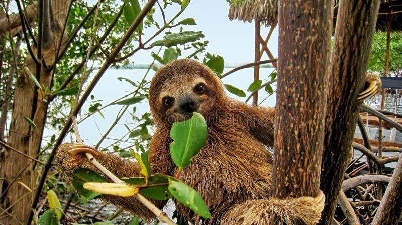 Bradipo del bambino che mangia la foglia della mangrovia fotografia stock libera da diritti