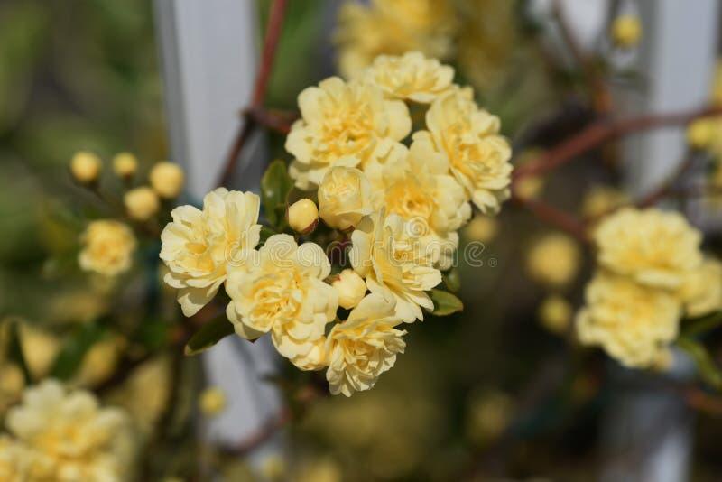 Il Banksia ? aumentato fiori fotografie stock