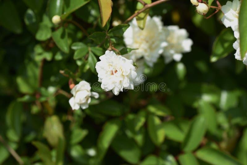 Il Banksia ? aumentato fiori fotografia stock