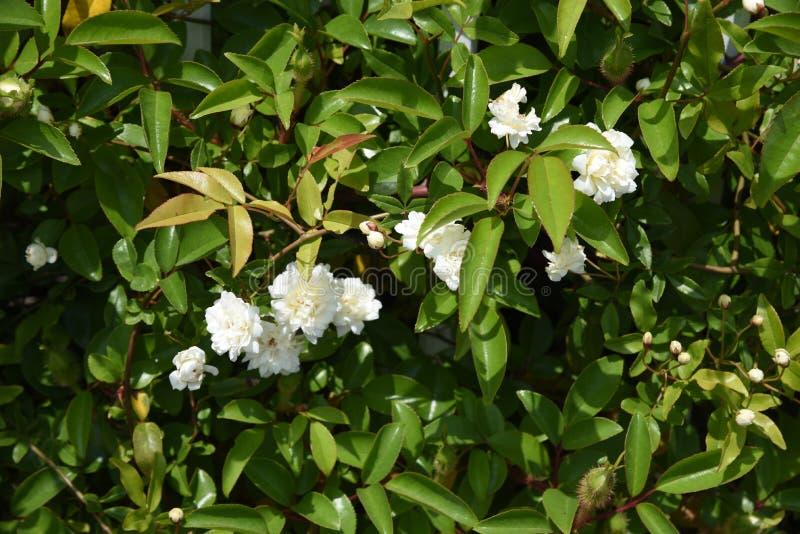Il Banksia ? aumentato fiori immagine stock
