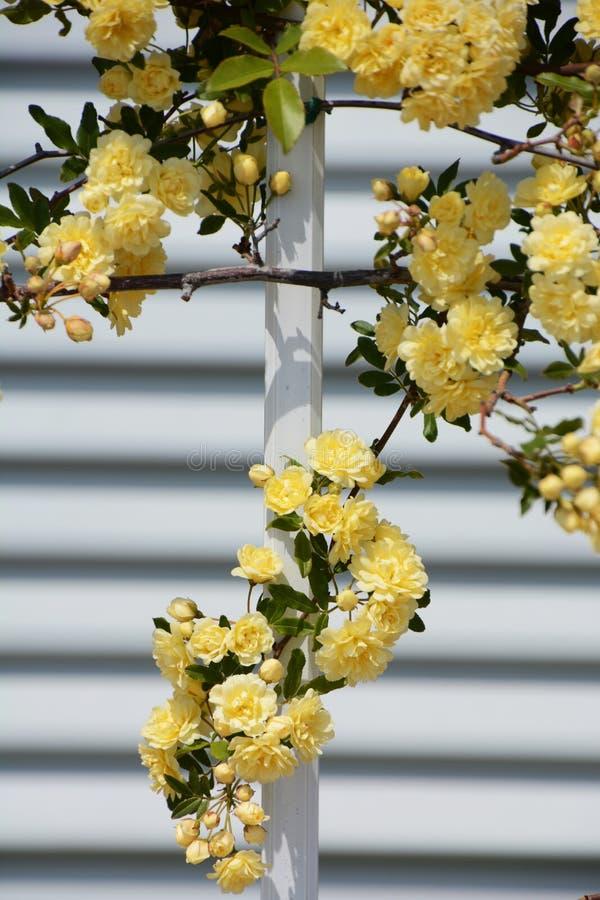 Il Banksia giallo è aumentato immagine stock