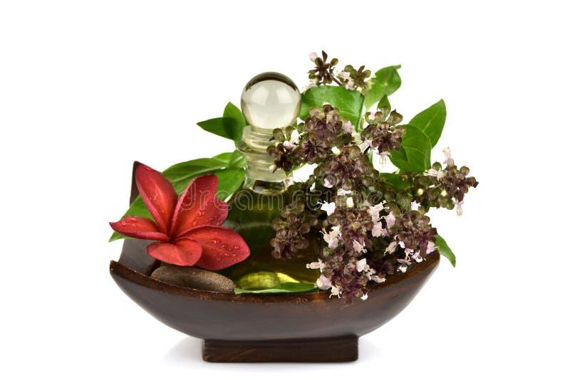Il basilico, il basilico tailandese, i fiori e le foglie verdi hanno l'aroma ed olio essenziale che medicina delle proprietà fotografia stock