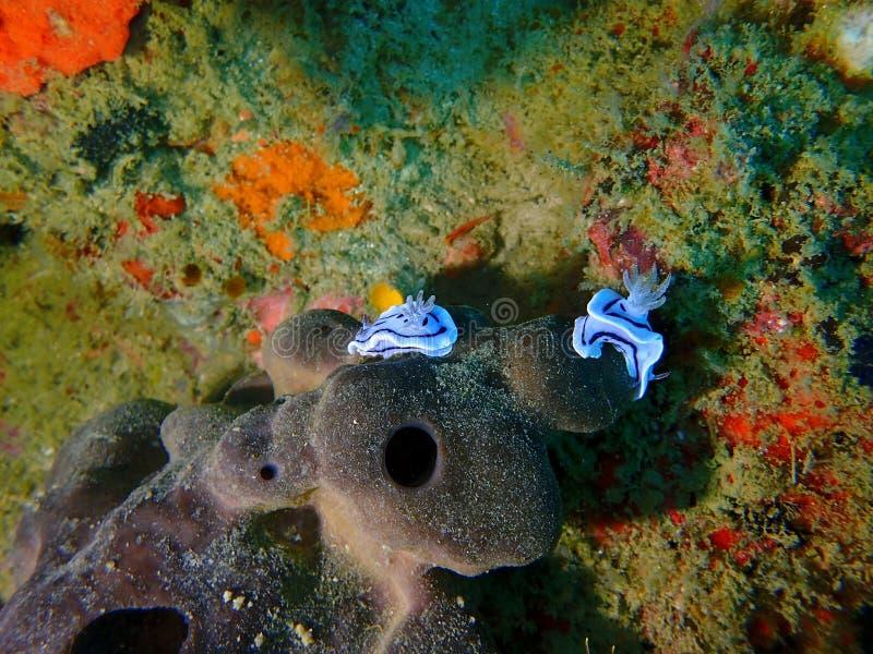 Il bei ed in un gruppo di willani di Chromodoris del nudibranch durante lo svago si tuffano l'isola di Sipadan, Semporna, Tawau S fotografia stock libera da diritti