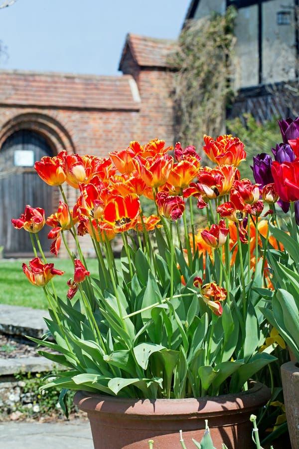 Il bei prange e rosso hanno tinto i tulipani dritti che crescono in un vaso del patio con una porta incurvata scenica nei precede fotografie stock