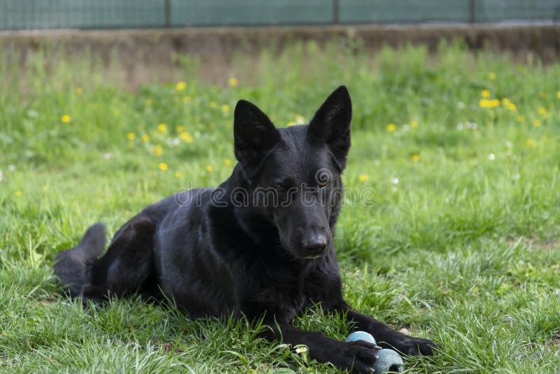 Il bello cane da pastore tedesco ha un resto nel cortile immagine stock libera da diritti
