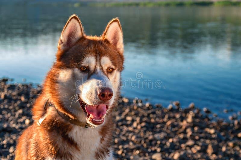 Il bello cane del husky si siede sul fiume di sera della riva nel tramonto dei raggi immagine stock